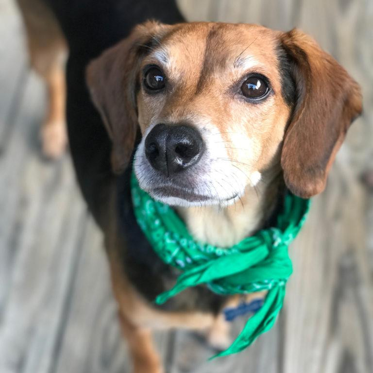 cute beagle with green bandana