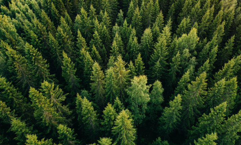 aerial view of a forest of evergreen pine trees